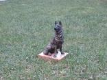 Немецкая овчарка бронза, фото №8