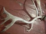 Рога оленя, фото №2