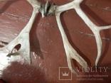 Рога оленя, фото №4