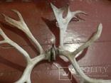 Рога оленя, фото №6