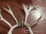 Рога оленя, фото №8
