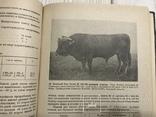 1937 Элитный крупный рогатый скот, фото №8