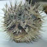 Чучело ядовитой рыбы Фугу , японский деликатес, фото №2