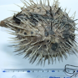 Чучело ядовитой рыбы Фугу , японский деликатес, фото №4