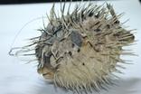 Чучело ядовитой рыбы Фугу , японский деликатес, фото №7