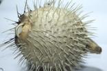 Чучело ядовитой рыбы Фугу , японский деликатес, фото №10