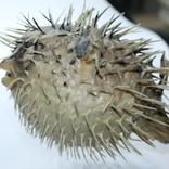Чучело ядовитой рыбы Фугу , японский деликатес, фото №12