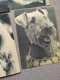 Открытки. Собаки чемпионы, фото №5
