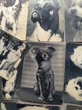 Открытки. Собаки чемпионы, фото №6