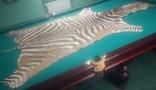 Шкура зебри Південна Африка, фото №2