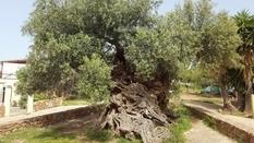 3000-летнее оливковое дерево с острова Крит до сих пор плодоносит