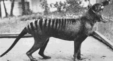 Полосатый волк: фото тасманийского тигра, сделанные в XIX-XX вв.