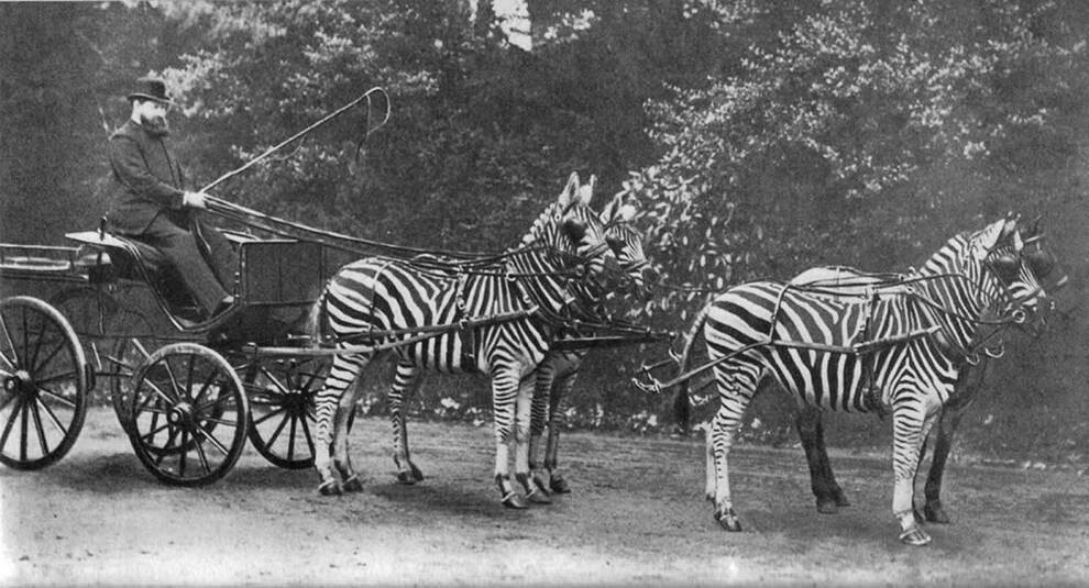 Как в XIX–XX вв. заменяли лошадей зебрами