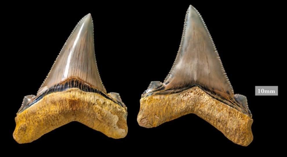 На пляже Австралии найдены зубы вымершей акулы