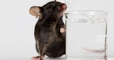 Ученые заявили, что мозг мыши может прожить вне черепа почти месяц