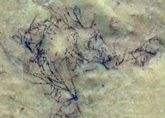 Ученые нашли новые ископаемые зеленые водоросли