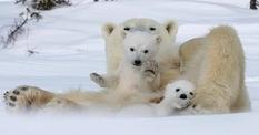 Известный фотограф смог заснять белую медведицу с медвежатами (Фото)