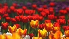 Нидерланды покажут фестиваль тюльпанов онлайн (Видео)