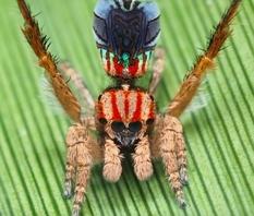Натуралист-любитель из США открыл 7 новых пауков-павлинов (Фото, Видео)