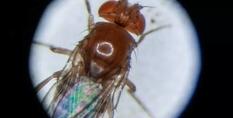 Кольцевую РНК использовали для продления жизни мухам-дроздофилам