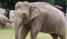 В зоопарке США умерла самая изученная слониха в мире