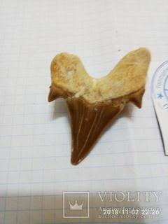 Зуб акули предок мегалодона
