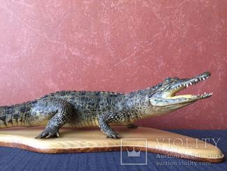 Крокодил чучело