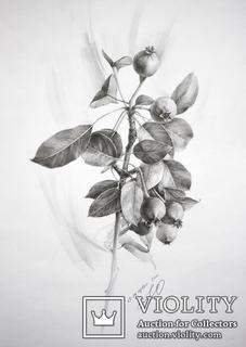 Рисунок карандашом. Графика. Веточка дикой груши (41х29см). Ю. Смаль
