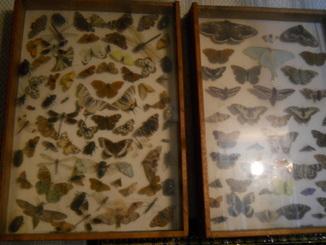 Три стенда с бабочками и жуками под стеклом