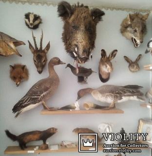 Коллекция чучел зверей и птиц