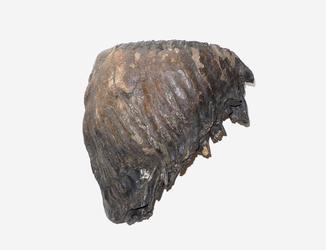 Крупний зуб мамута (мамонта) 6,5 кг