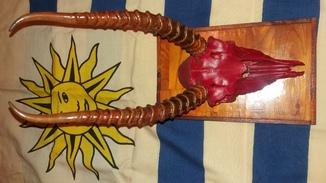 Рога Сайгака с половиной черепа и частью зубов. 1524 грамма.