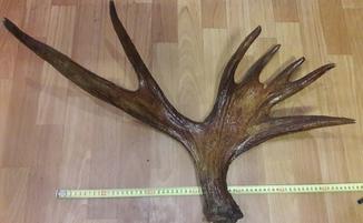 Рога Лося 3.1 кг