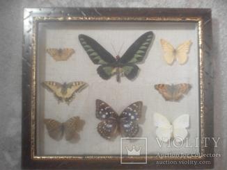Коллекция бабочек под стеклом