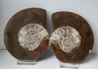 Распил аммонита Девонский период (360 млн лет) Марокко
