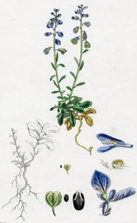 Старинная цветная литография. 1864-88 года. Ботаника. №42 (25х16см.).