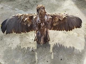 Опудало орла (рідкісний вид)