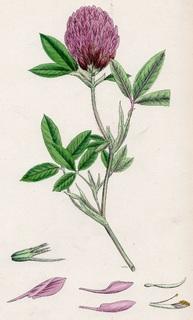 Старинная цветная литография. 1864-88 года. Ботаника. №49 (25х16см.).
