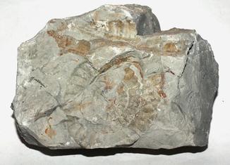 Амоніт арієтітес юрського періоду з Карпат