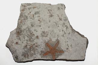 Морська зірка - едріоастероідея (Edrioasteroidea) палеозойської ери