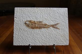 Окаменелая рыба Эоцен 45-50 млн лет Вайоминг США