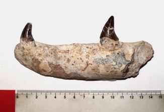 Щелепа базілозавра з зубами, 35 млн років