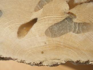 Окаменелое дерево срез, палеоген 60 млн.лет, 9 кг.