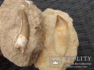 Зубы   Плезиозавра и Мозазавра 105 × 73 × 40 мм