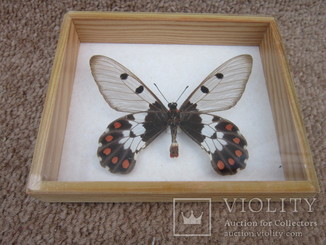 Бабочка ''Cressida Cressida'' Австралия