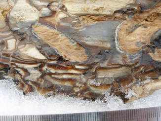 Луганское каменелое дерево палеоген, опал.