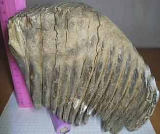 Зуб мамонта 1800 грам